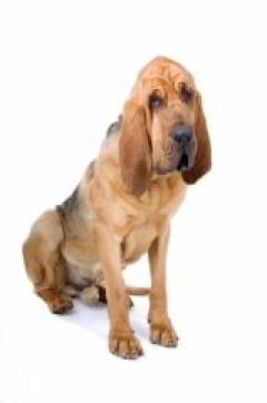 Saint-hubert : un chien au flair qui assure ! - SantéVet