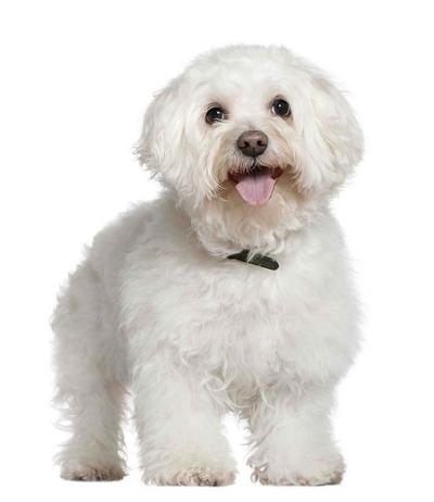 Bolognese Dog Breed Australia