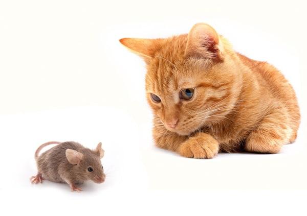 Les chats et les souris sont ils devenus amis - Faire fuir les chats ...