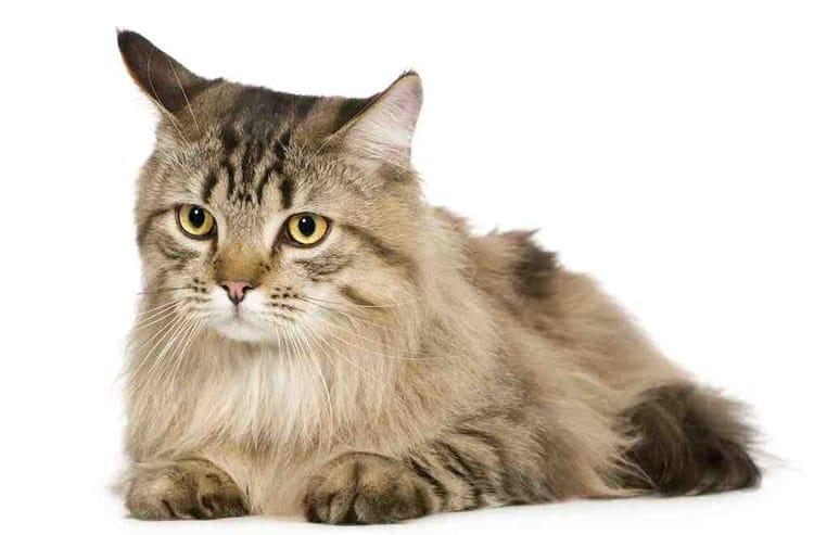 Parasites internes chez le chat  des vers à éliminer