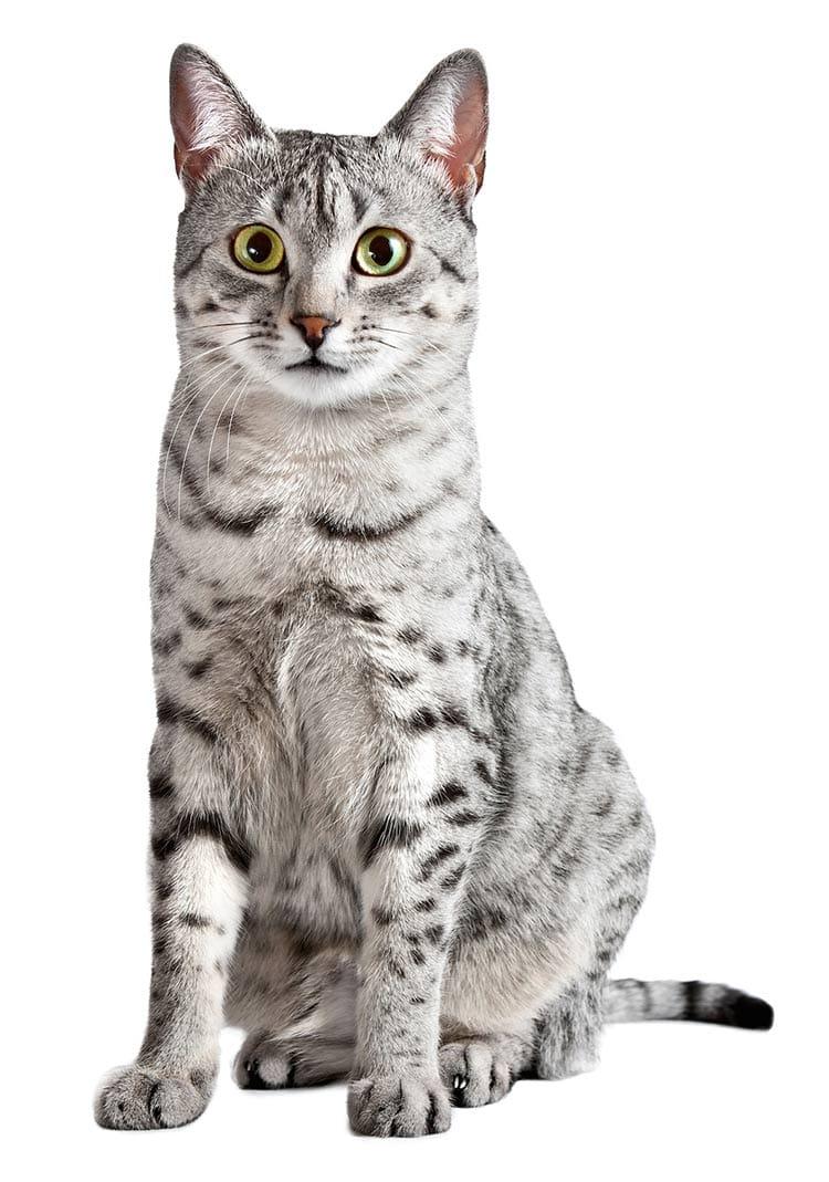 """Résultat de recherche d'images pour """"image de chat mau égyptien"""""""