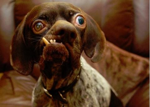 """Chien Le Plus Laid doug, le chien le plus """"moche"""" du monde ! - actualité - chien - santévet"""