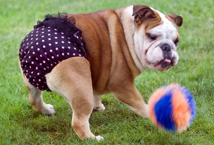 Couches pour chiens op ration mains propres trucs astuces chien sant vet - Couche pour chien femelle ...
