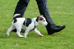 comment apprendre à son chien à marcher au pied