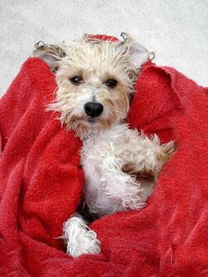 allez le chien la douche soins et entretien chien sant vet. Black Bedroom Furniture Sets. Home Design Ideas