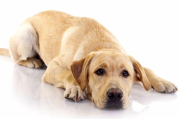 la parvovirose chez le chien maladies et pr vention chien sant vet. Black Bedroom Furniture Sets. Home Design Ideas