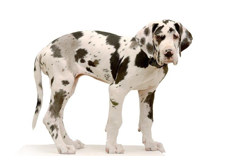 un gros chien en ville est ce possible sant vet. Black Bedroom Furniture Sets. Home Design Ideas
