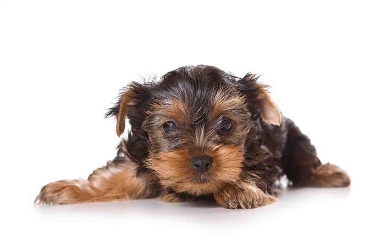 surveillez le poids de votre chiot alimentation chien. Black Bedroom Furniture Sets. Home Design Ideas