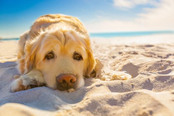 Evitez à tout prix le coup de chaleur à votre chien - maladies et ...