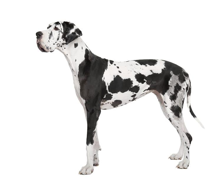 Dogue Allemand Caractere Comportement Dressage Santevet