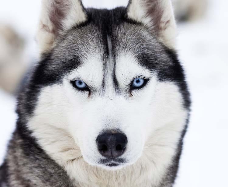 Siberian Husky Husky De Siberie Race De Chien Santevet