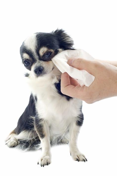 lingettes pour chien et chat le danger des produits pour b b actualit chien sant vet. Black Bedroom Furniture Sets. Home Design Ideas