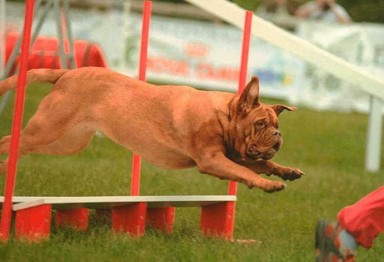l agility un sport pour tous les chiens education et activit s chien sant vet. Black Bedroom Furniture Sets. Home Design Ideas