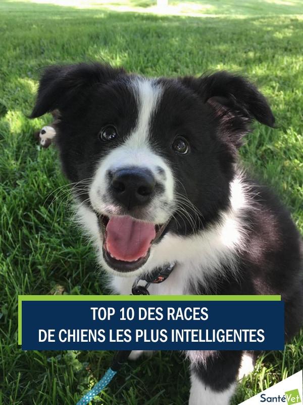 Top 10 Des Races De Chiens Les Plus Intelligentes Trucs