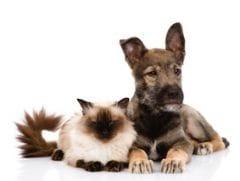 fi vre temp rature comment la prendre chez le chien et chat maladies et pr vention chien. Black Bedroom Furniture Sets. Home Design Ideas