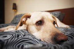hypothyro die chez le chien un probl me hormonal maladies et pr vention chien sant vet. Black Bedroom Furniture Sets. Home Design Ideas