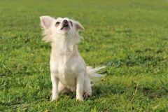 Drain de glandes anales de chien