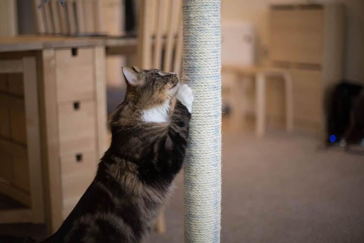 des ph romones naturelles contre les griffades du chat trucs et astuces chat sant vet. Black Bedroom Furniture Sets. Home Design Ideas