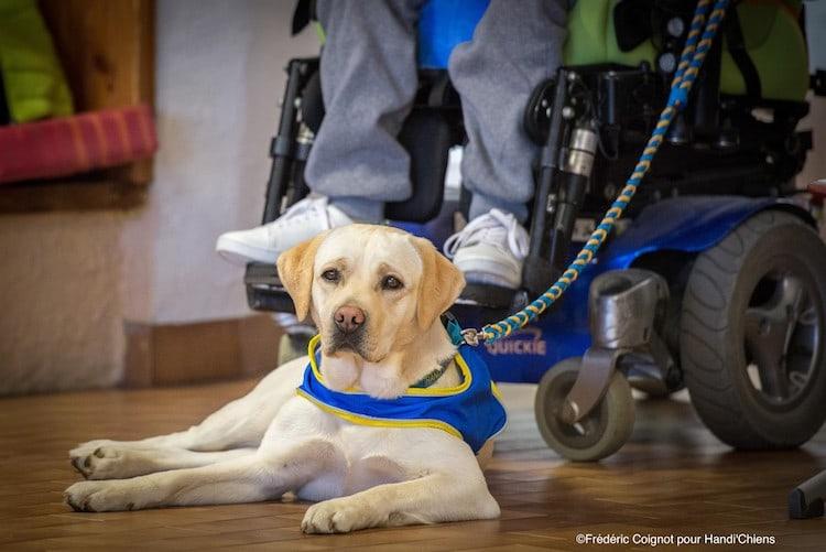 Chien d'assistance chien - SantéVet