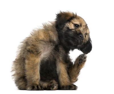 Puces tiques de nouveaux traitements pour chien et for Koi qui se gratte