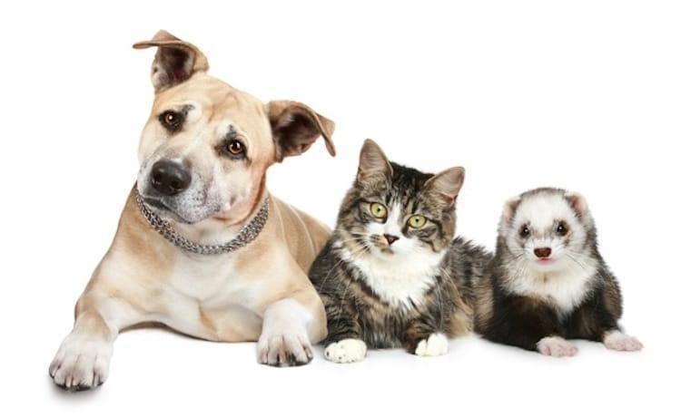 Chiens chats furets sont ils bien identifi s en 2016 - Com chien et chat ...